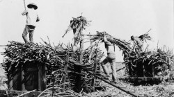 Workers Loading Cane
